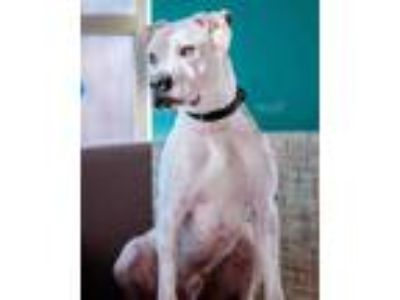 Adopt Blade (Jackson) a White American Pit Bull Terrier / Mixed dog in South