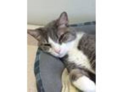 Adopt Cricket a American Shorthair