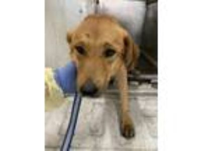 Adopt Stacy a Brown/Chocolate Labrador Retriever / Golden Retriever / Mixed dog