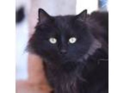 Adopt Ruby a Domestic Medium Hair