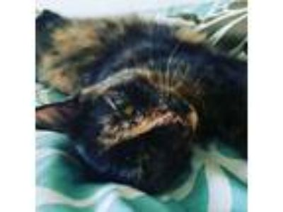 Adopt Letty a Tortoiseshell Domestic Shorthair cat in Middle River