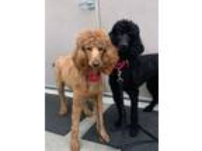 Adopt Cayenne a Standard Poodle