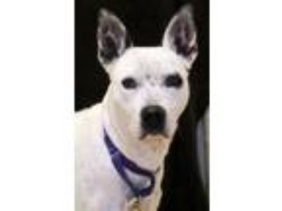 Adopt Tilley a Australian Cattle Dog / Blue Heeler