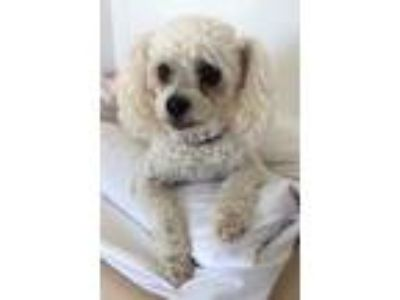 Adopt Baby a White Poodle (Toy or Tea Cup) / Mixed dog in Lodi, CA (25519957)