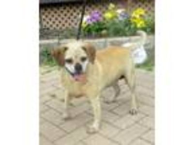 Adopt Feona a Tan/Yellow/Fawn Pug / Beagle / Mixed dog in West Chicago