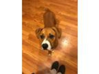 Adopt Dina a Tan/Yellow/Fawn - with White Boxer dog in Cleveland, NC (25493004)