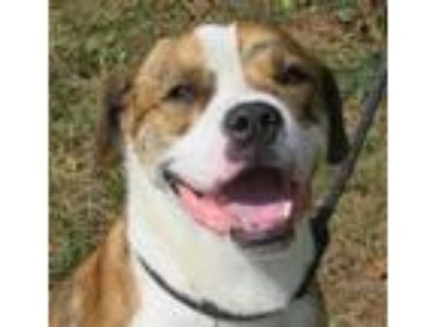 Adopt Harvey (St. Bernard-mix) a Brindle - with White St.