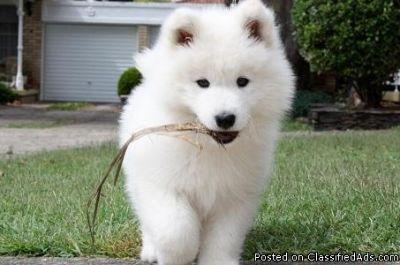 wqergfvdu Samoyed puppies for sale