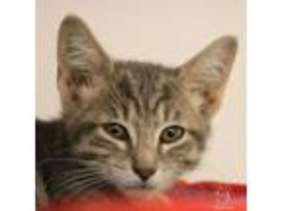 Adopt Frida a Domestic Medium Hair, Domestic Short Hair