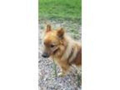 Adopt Foxtrot a Red/Golden/Orange/Chestnut Chow Chow / Mixed dog in Houston