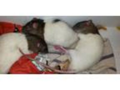 Adopt Rocky, Ryder and Chase a Rat