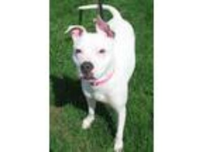 Adopt Katie a White Pit Bull Terrier / Mixed dog in Utica, NY (23333233)