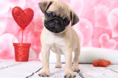 Pug PUPPY FOR SALE ADN-63455 - Champ Adorable Male AKC Pug Puppy