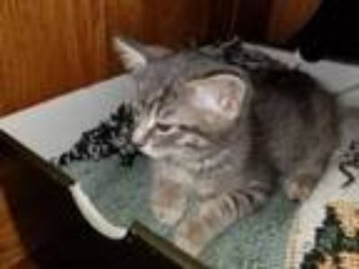 Adopt Willis a Domestic Short Hair