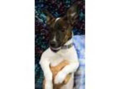 Adopt Punky a White Rat Terrier / Mixed dog in Cleburne, TX (25886647)