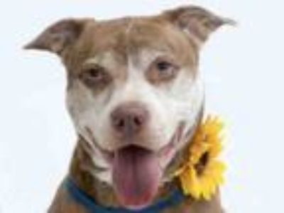 Adopt WHITNEY HOUSTON a Pit Bull Terrier
