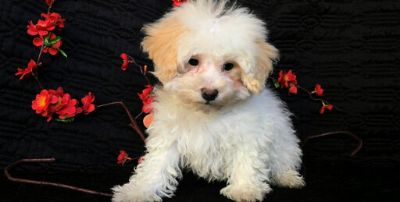 Maltese-Maltipoo Mix PUPPY FOR SALE ADN-113936 - CUTE MALTESE MIXED WITH POODLE PUPS