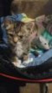Kitten Season is HERE! Domestic Short Hair Cat
