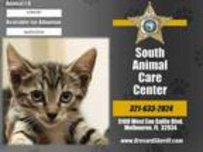Adopt JENGA a Brown Tabby Domestic Shorthair / Mixed (short coat) cat in
