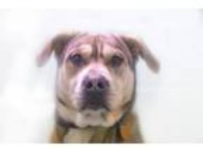 Adopt Wiley (Wyatt) a Tan/Yellow/Fawn Pit Bull Terrier / Mixed dog in Mountain