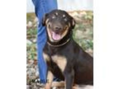 Adopt Mable a Doberman Pinscher, German Shepherd Dog