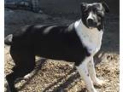 Adopt Judi a Black - with White Pit Bull Terrier / Labrador Retriever dog in