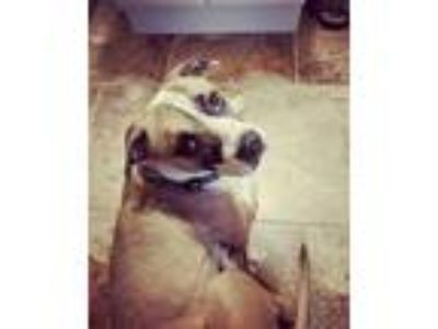 Adopt Lucia a White - with Tan, Yellow or Fawn Pit Bull Terrier / Boxer / Mixed