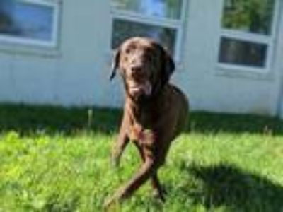 Adopt Maggie a Brown/Chocolate Labrador Retriever / Mixed dog in Wooster
