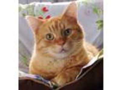 Adopt Indy - super sweet! a Domestic Short Hair, Tabby