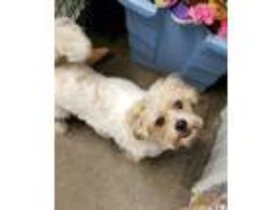 Adopt Teddy a White - with Tan, Yellow or Fawn Shih Tzu / Mixed dog in