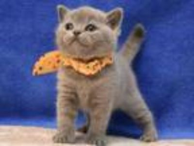 Quelle British Shorthair In A Blue Color