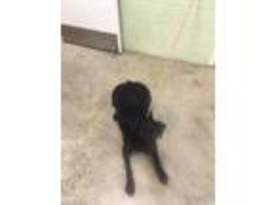 Adopt Arlo a Black Retriever (Unknown Type) / Pointer / Mixed dog in Hutchinson
