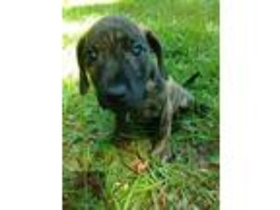 Adopt Chaz a Brindle Labrador Retriever / American Staffordshire Terrier / Mixed