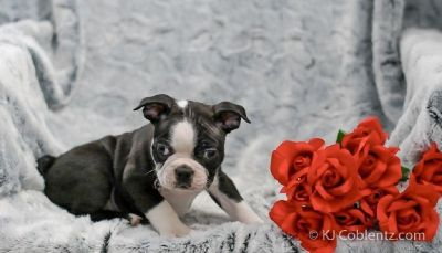 Jack Male Boston Terrier AKC