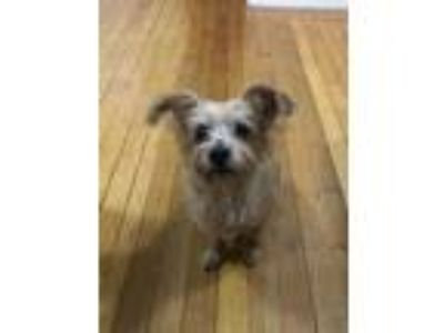 Adopt Scooter a Yorkshire Terrier