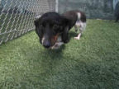 Adopt ELVIS a Black - with White Dachshund / Mixed dog in Winter Haven