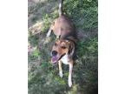 Adopt Leyla a Brown/Chocolate - with Black German Shepherd Dog / Mixed dog in