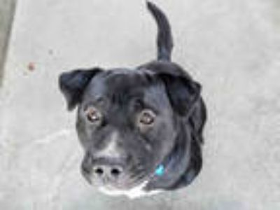 Adopt JACK a Black - with White Mixed Breed (Medium) / American Pit Bull Terrier