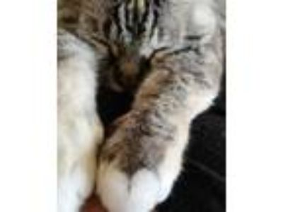 Adopt Mimi a Tan or Fawn Tabby Domestic Shorthair cat in Colorado Springs