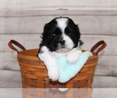 Shih Tzu PUPPY FOR SALE ADN-129069 - Shih Tzu