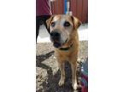 Adopt Beethoven a Labrador Retriever / Chow Chow / Mixed dog in St.