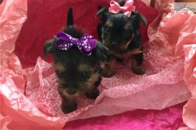 Yorkshire Terrier PUPPY FOR SALE ADN-89722 - Female Yorkie