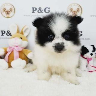 Pomeranian PUPPY FOR SALE ADN-95871 - POMERANIAN JANE FEMALE