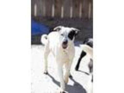 Adopt Telluride a Australian Shepherd / Pointer / Mixed dog in San Diego