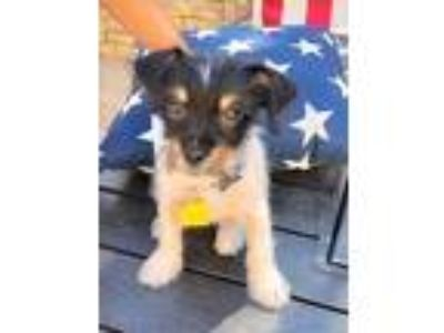 Adopt Puppies a Shih Tzu, Toy Fox Terrier