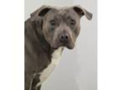 Adopt 19-210 Xander a Pit Bull Terrier