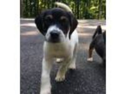 Adopt Puppy Dwight a Tricolor (Tan/Brown & Black & White) Beagle / Mixed dog in