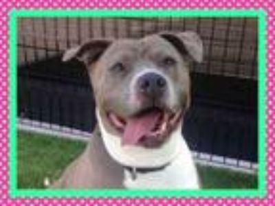 Adopt CHELSEA a Pit Bull Terrier