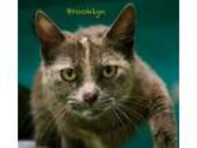 Adopt Brooklyn a Domestic Shorthair / Mixed cat in Hot Springs Village