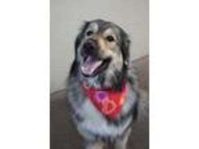 Adopt Chuy a Tan/Yellow/Fawn Great Pyrenees / Shepherd (Unknown Type) / Mixed